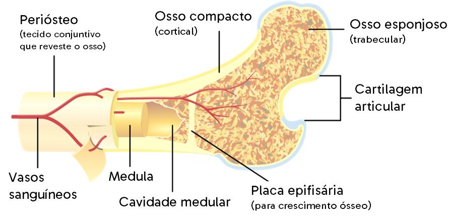 Corte transversal de um osso. A região do tecido hematopoiético se localiza na região do osso esponjoso, ou trabecular. A medula presente na cavidade medular é o local onde fica a medula óssea amarela, formada por tecido adiposo.