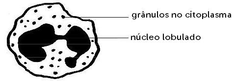 Esquema genérico de um granulócito