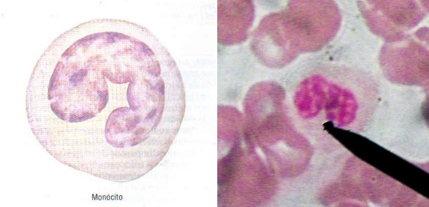 Esquema de um monócito (esquerda), e como ele pode ser observado na microscopia óptica (direita).