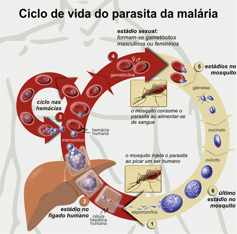 Ciclo da malária