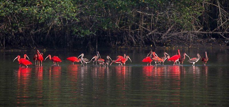 O mangue serve como berçário de diversas espécies, que se alimentam e desovam na região.