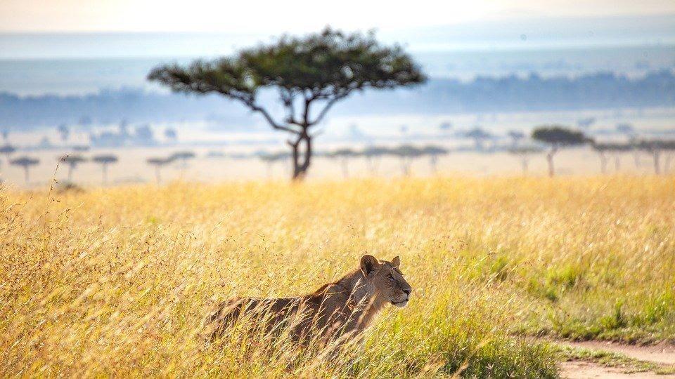 As savanas são áreas de campo aberto, com vegetação baixa e poucas árvores.