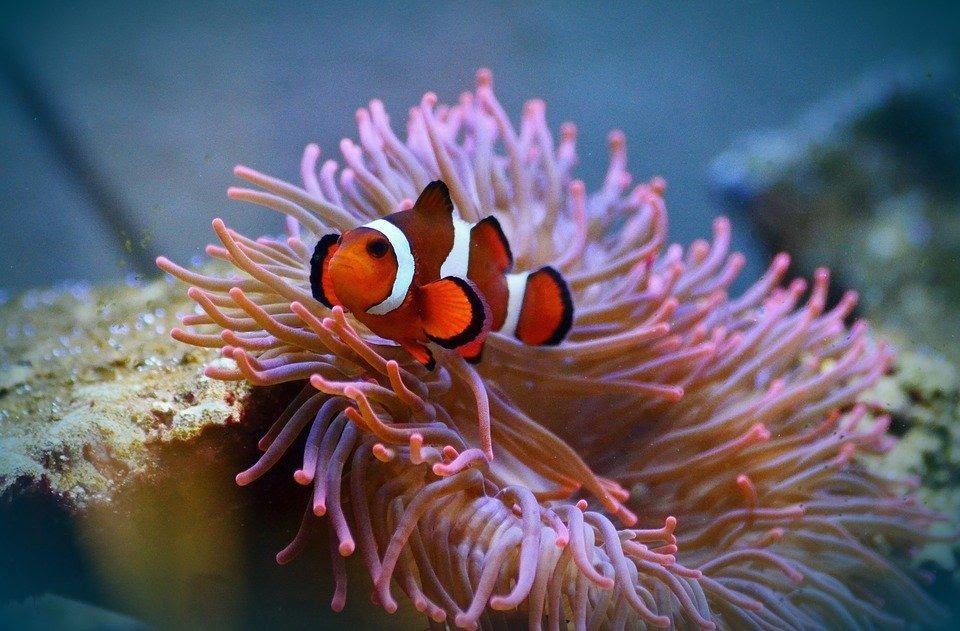O peixe palhaço é um animal de nécton