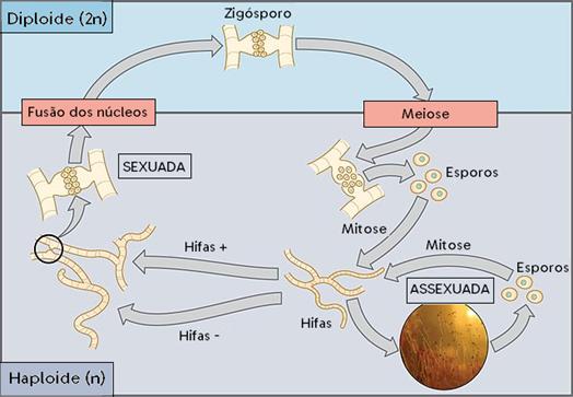 ciclos reprodutivos dos fungos