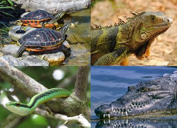 Representantes dos principais grupos de Répteis: tartarugas, lagartos, ofídeos e crocodilianos.