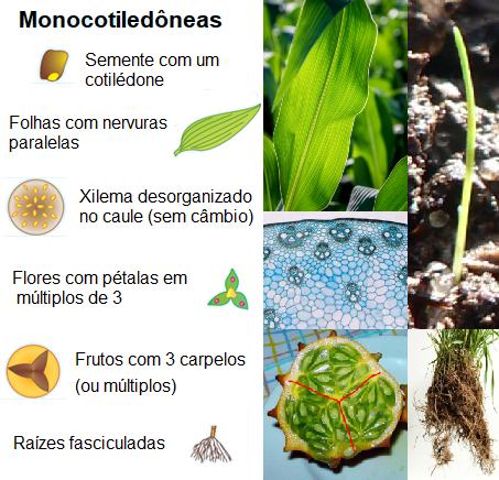 Características e exemplos de monocotiledôneas.