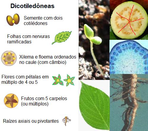 Características e exemplos de dicotiledôneas.