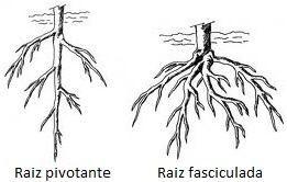 Exemplo de raiz das angiospermas.