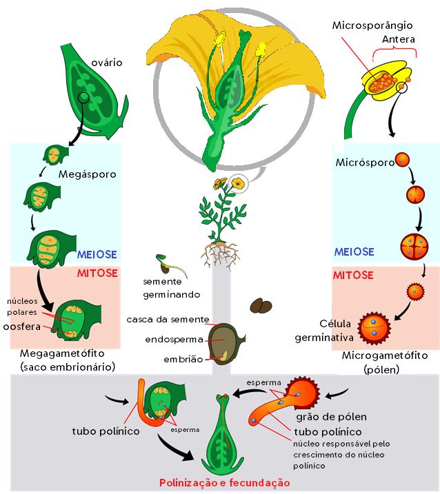 Esquema do ciclo reprodutivo das Angiospermas. No lado esquerdo, a formação do gameta feminino (oosfera), e do lado direito, a formação do grão de pólen.