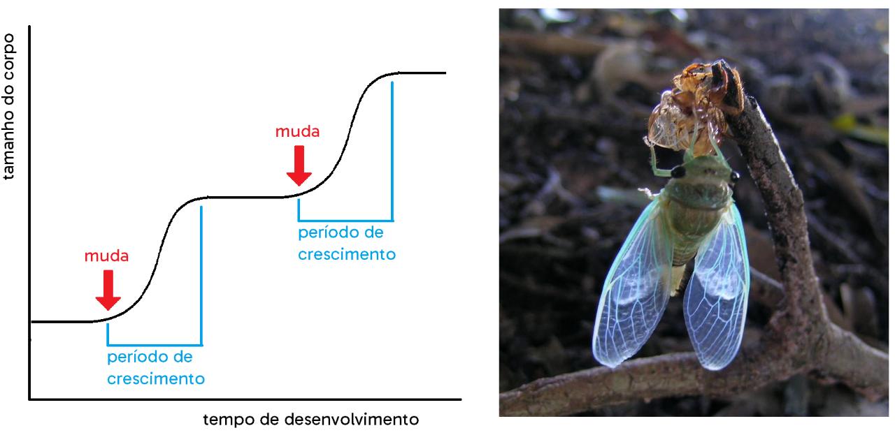 Gráfico mostrando como ocorre o crescimento dos artrópodes, em saltos, entre as mudas. À direita, uma cigarra com o novo exoesqueleto deixando o exoesqueleto antigo.