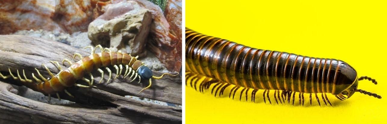Exemplos de quilopode (esquerda) e diplopode (direita).