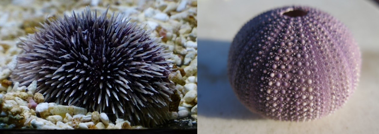 Ouriço-do-mar, vivo e com espinhos à esquerda, e endoesqueleto de um ouriço-do-mar, à direita.