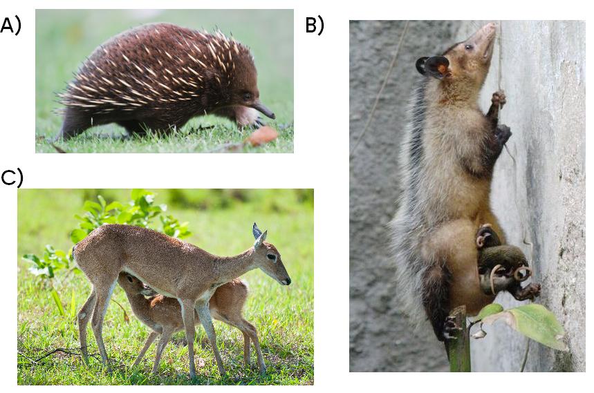Exemplos de mamíferos. A) Echdina, um monotremado ou prototério; B) Um gambá, do grupo dos marsupiais, ou metatérios; C) Veado, um placentário, ou eutério.