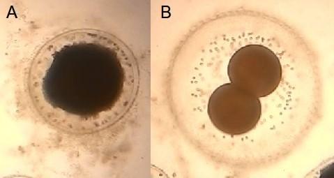 Após a reprodução sexuada, a fusão dos gametas dá origem a um zigoto (A), que cresce em tamanho por divisões de mitose (B) até formar o embrião completo.