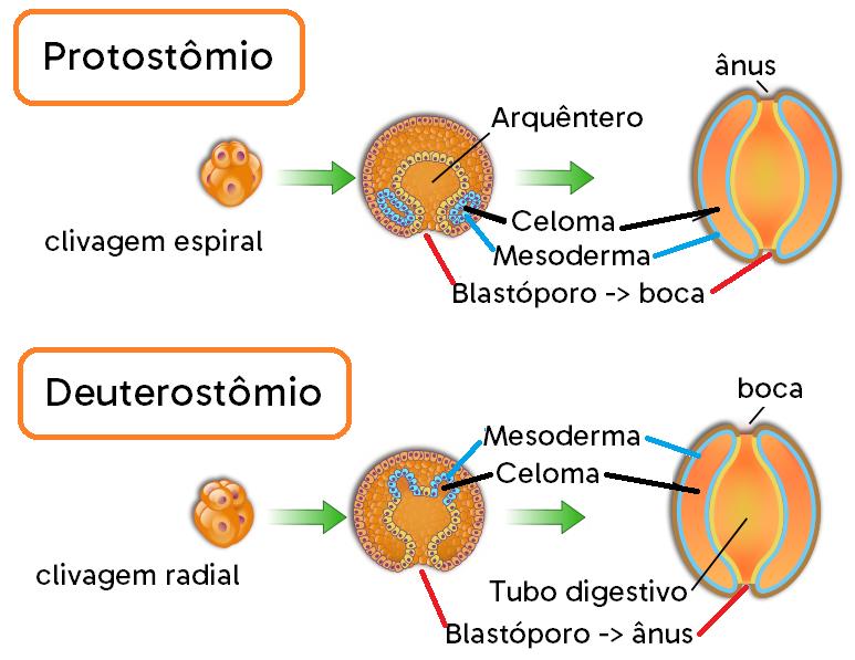 Desenvolvimento de um protostômio e de um deuterostômio.