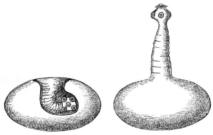 Cisticerco de Taenia solium