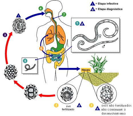 Esquema do ciclo da ascaridíase