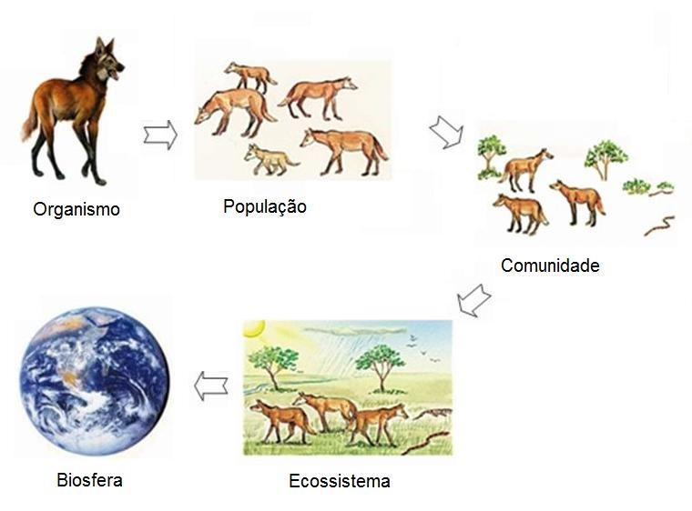 Níveis de organização finais. Usualmente são estudados pela botânica e zoologia (organismo) e pela ecologia (relação dos seres vivos entre si e com o ambiente).