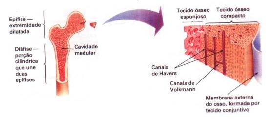 Esquema do interior do osso
