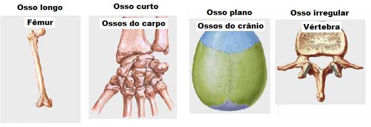 Tipos de ossos: longo (fêmur), curto (ossos da mão), plano (crânio) e irregular (vértebra)